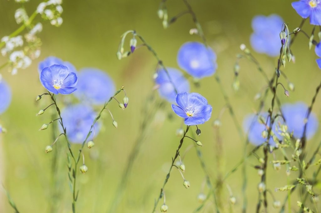 blue flax, perennial flax, upright flower stalks